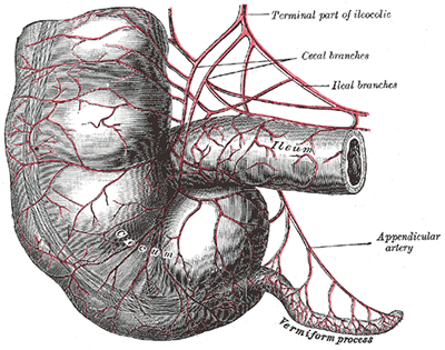 The appendix, or vermiform process, is a blind-ended tube connected to the cecum.