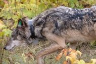 Releasing a female wolf on Isle Royale, Oct. 2, 2018.