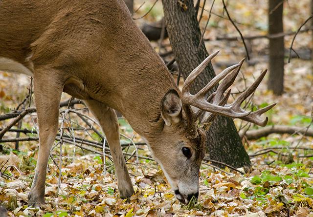 Minnesota deer
