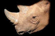 photo of a black rhino