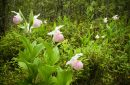 photo of ladyslipper flowers in bog