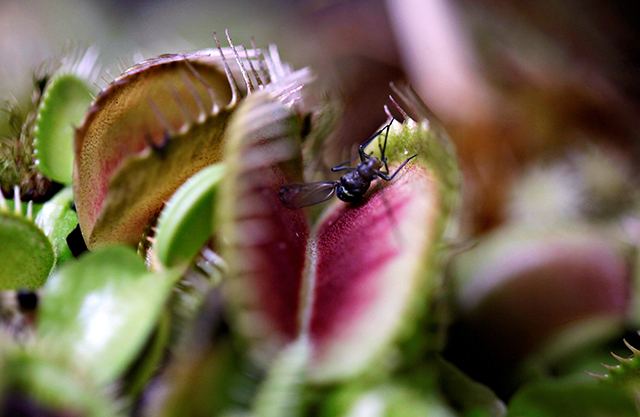 photo of insect landing in venus flytrap plant