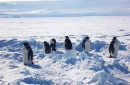 Emperor penguins shown on the Ross Ice Shelf.