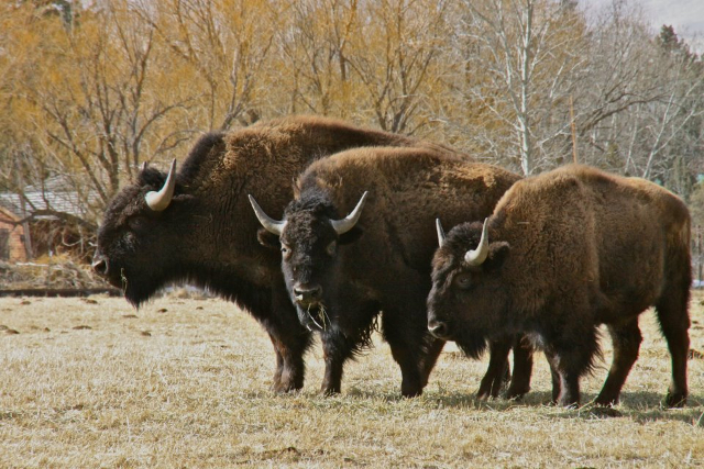 photo of three bison grazing