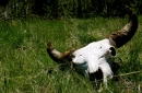 photo of bison skull on grass