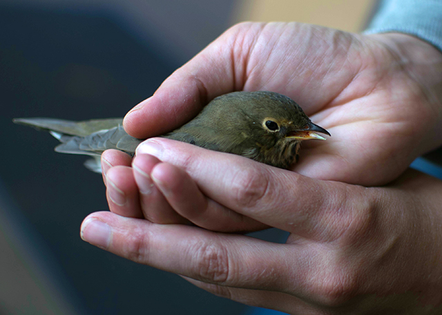 Tara Smith holds a thrush, stunned after probable window collision, that probably will not survive.