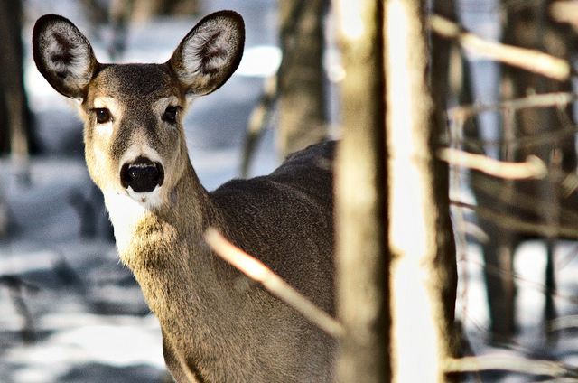 photo of white tailed deer in woods