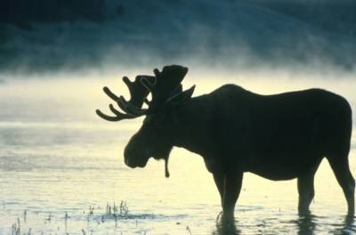 photo of moose wading in water