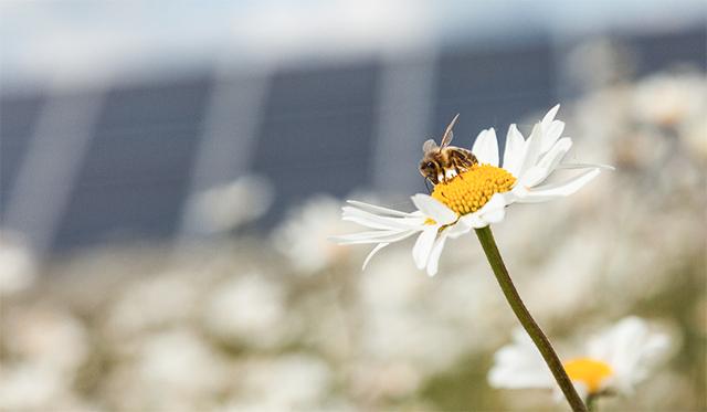 photo of honeybee on daisy
