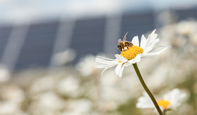 photo of honeybee on daisy