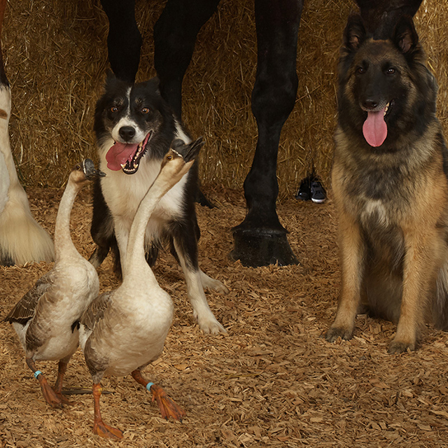 Detail #1. Supreme Champion Geese and Herding Dogs