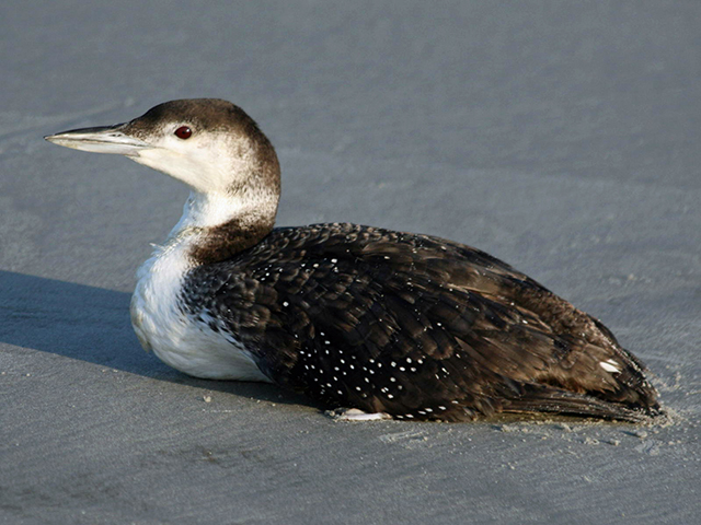 Loon in non-breeding plumage at Sunset Beach, North Carolina.