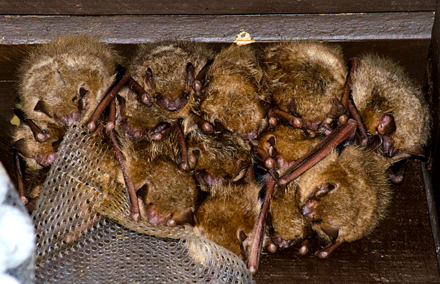 A colony of bats located at Fort Snelling State Park.