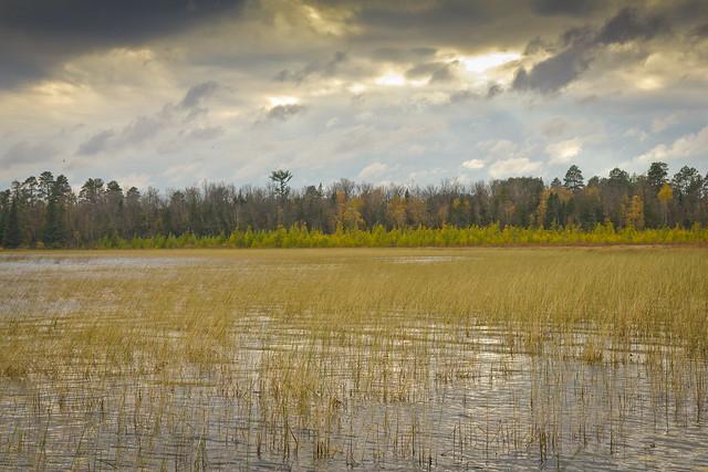 Wild rice on Itasca Lake