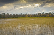 Wild rice on Itasca Lake