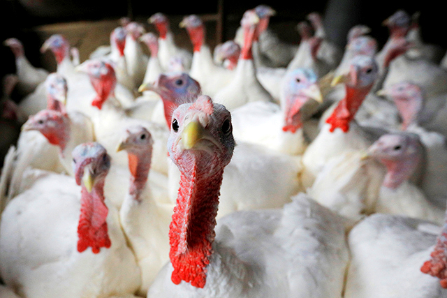 Four years after bird flu scare, things are looking up for Minnesota's turkey farmers