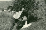 historical photo of worker pouring salt on roots of bush