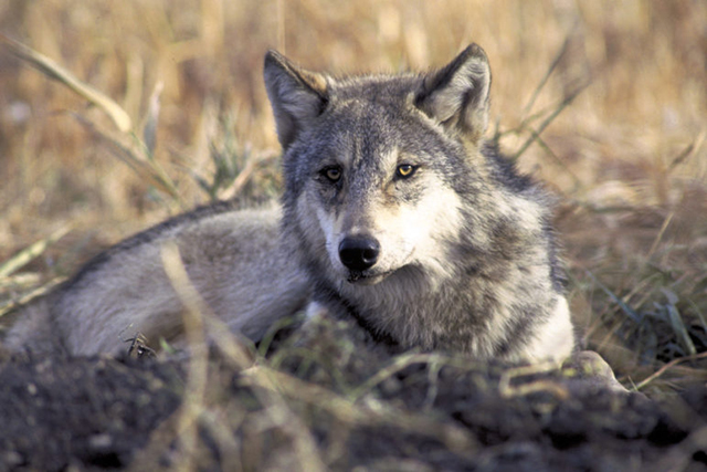 Nearly 60 years after gray wolves were considered extinct in Wisconsin, the population has rebounded dramatically, to more than 900 in the state.