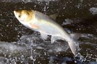 invasive carp