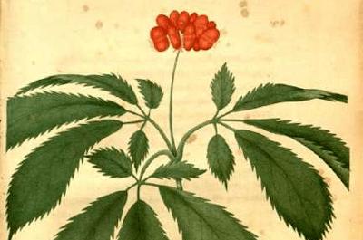 illustration of american ginseng