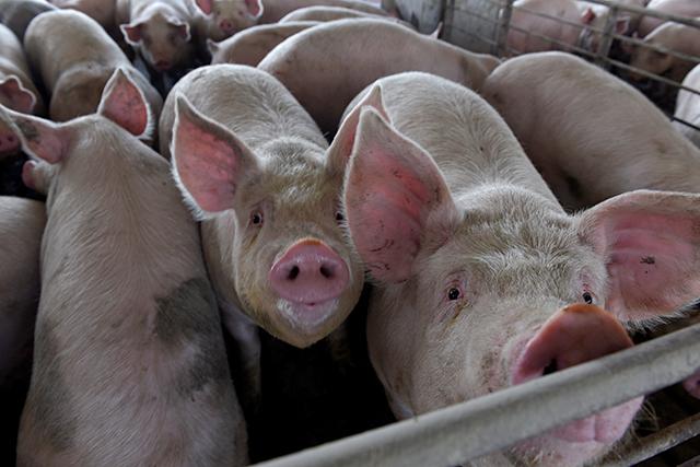 Economic impacts of pork shutdowns will reach well beyond Minnesota farmers