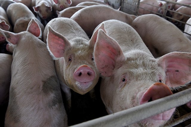 Minnesota is the U.S.'s second-biggest pork-producing state.
