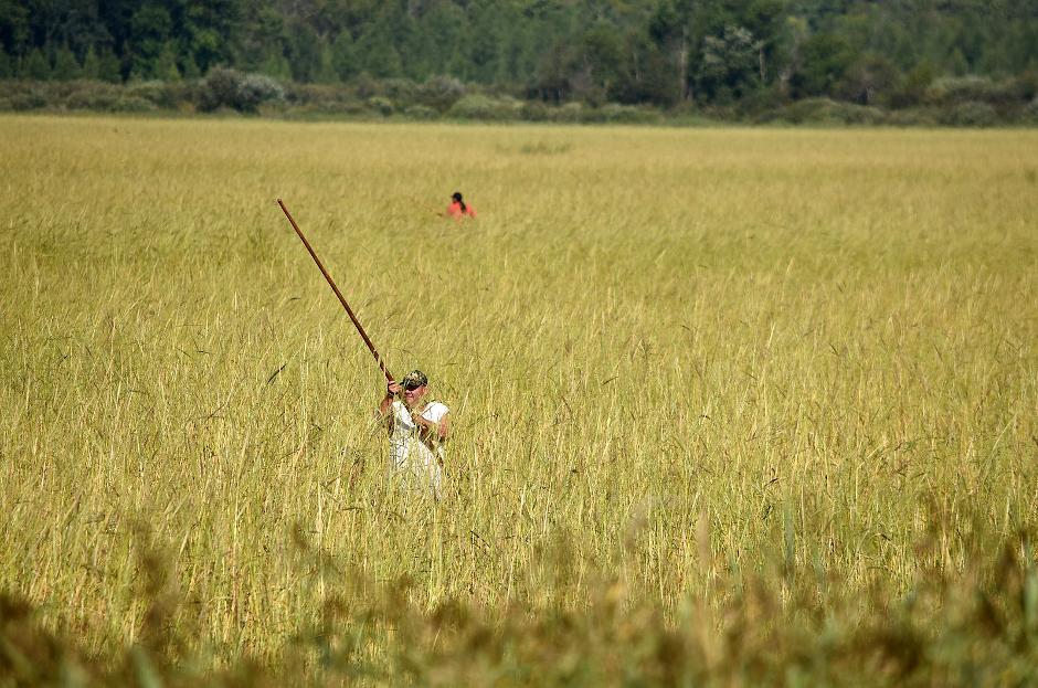 photo of wild rice harvest