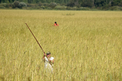 photo of wild rice harvest