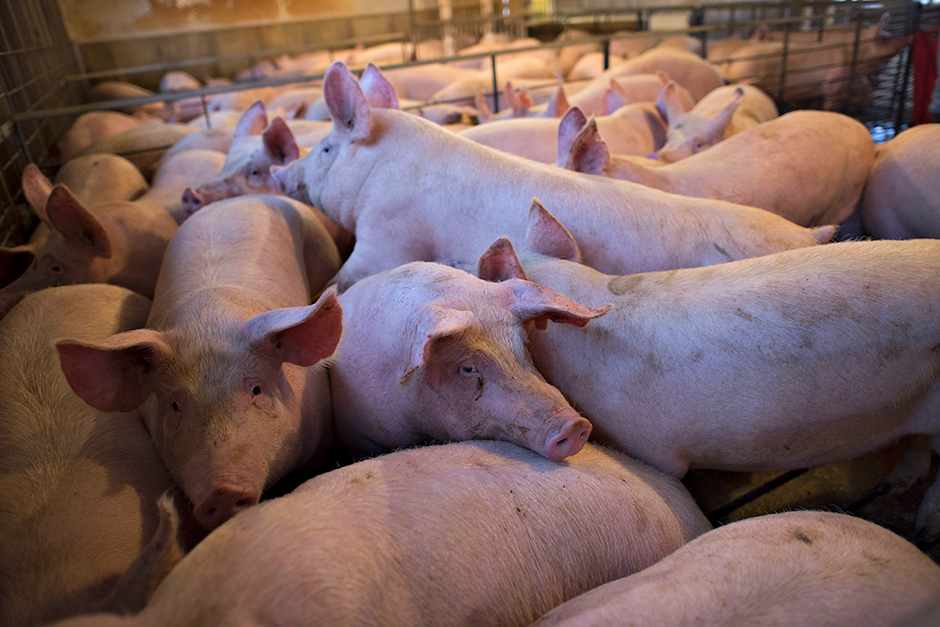 Many farmers were forced to euthanize hundreds of thousands of animals during the COVID-19 pandemic — an outcome that now has many of the biggest players in Minnesota agriculture debating ways to strengthen the food system.