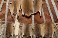 photo of muskrat pelts hanging