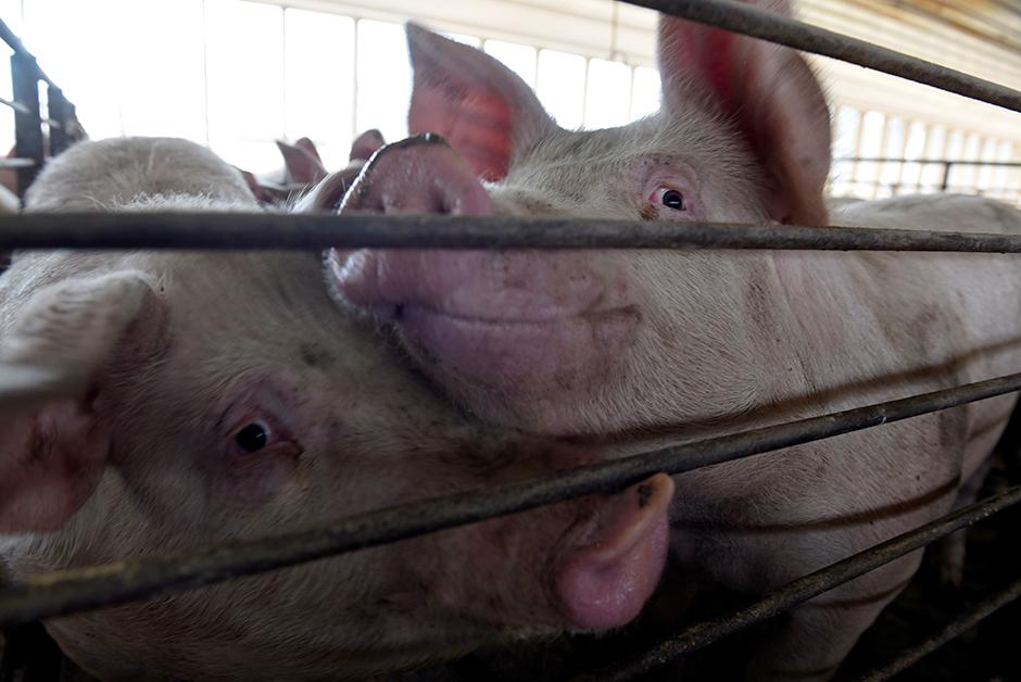 Hogs shown in a barn on a farm in Kenyon, Minnesota.