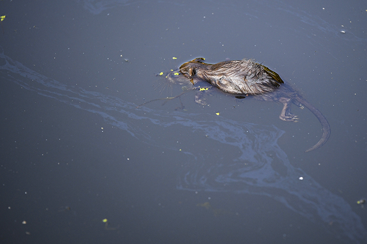 A dead rodent floats on the surface of Starkweather Creek at the Olbrich Park Boat Launch.