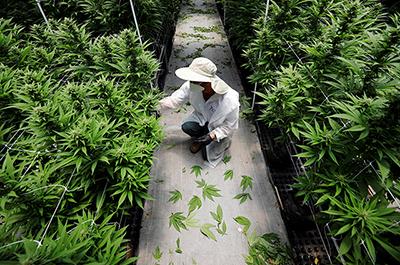 medical cannabis company