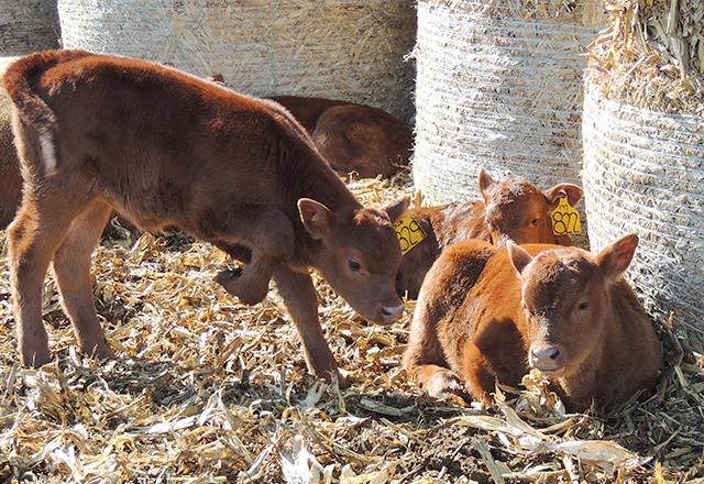 Newborn calves on the Jergenson farm.