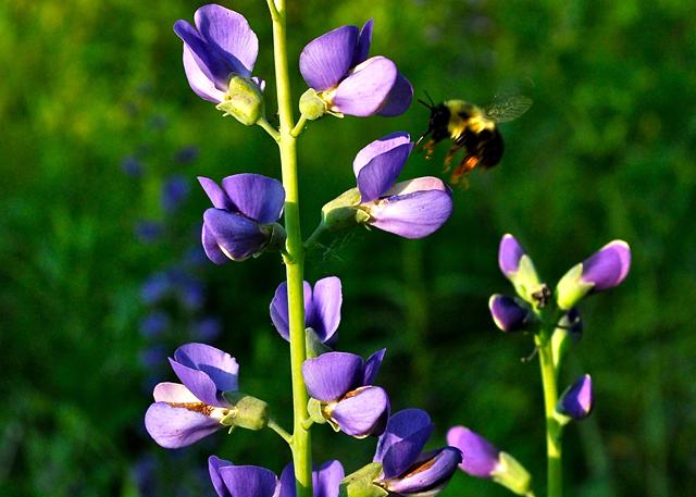 A bee works the False Blue Indigo