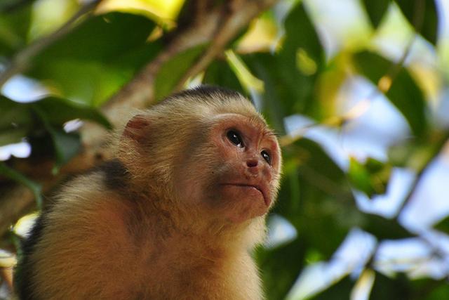 capuchin