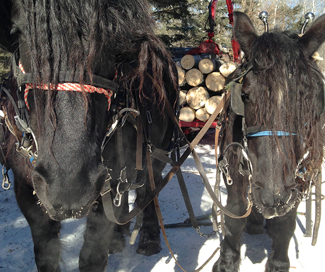 Percherons Diamond and Daisy stand in front of a growing log pile.