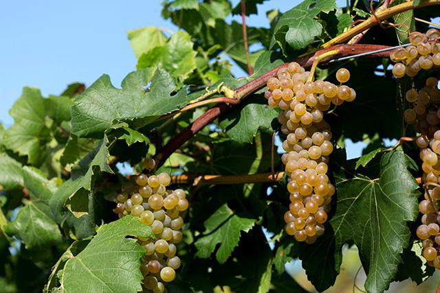 'Itasca' wine grapes