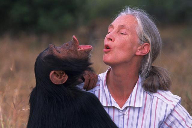 "A scene from ""Jane Goodall's Wild Chimpanzees."""