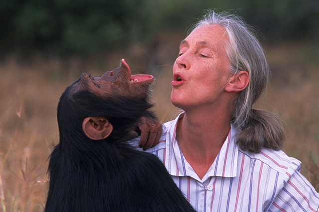 "A scene from ""Jane Goodall's Wild Chimpanzees."""