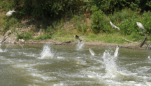 School of Jumping Silver Carp