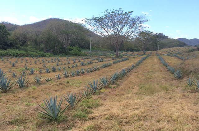 Rows of agave plants