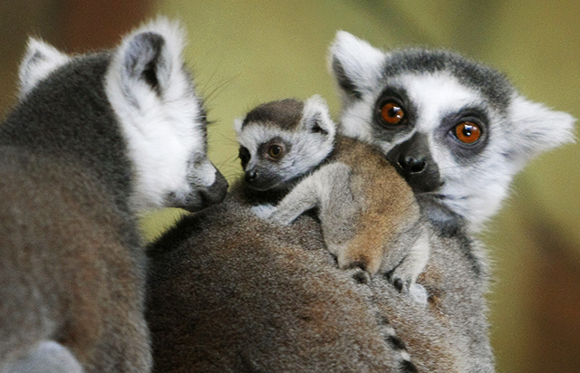 Lemurs top the chart of exotic animals registered in Minnesota by species.