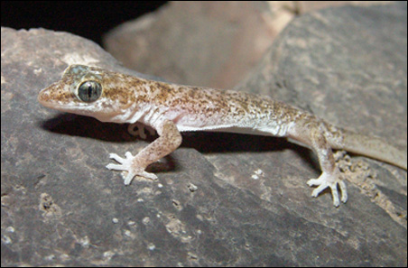 Phyllodactylus microphyllus, another member of the new family.