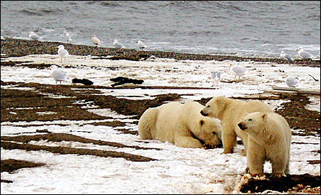 A polar bear sow and two cubs are seen on the Beaufort Sea coast within the Arctic National Wildlife Refuge.