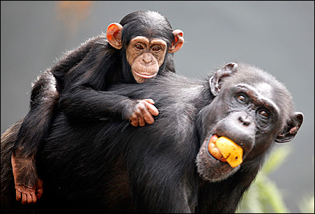 """Professor Michael Wilson: """"It's fairly common for chimpanzees to carry their infants long after they've died."""""""