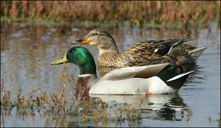 At Minnesota Valley, the proposal would increase the acreage allowed for duck and goose hunting, deer hunting and upland game.