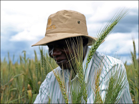 Plant breeder Bernard Otukho worked wheat plots with Minnesota scientists in Kenya.