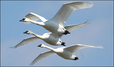 Which has the larger estimated population: timber wolves or trumpeter swans?