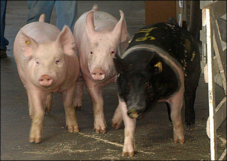 Pig at Minnesota State Fair